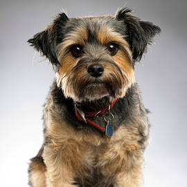 Charlie by Jack Turkel - Animals - Dogs Portraits ( terrier, cute, dog )