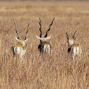 Blackbuck (Males)