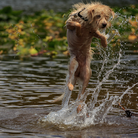 Water Play by Paul Judy - Animals - Dogs Playing ( water, jumping, summer, lake, sierra )