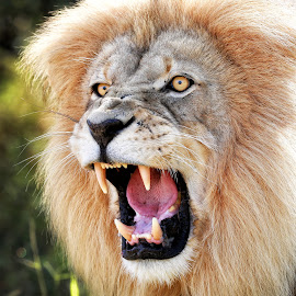 Angry Lion by John Mcloughlin Wildlife Photography - Animals Lions, Tigers & Big Cats ( lion, angry lion, wildlife, fantastic wlidlife,  )