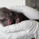 Baby Grey Fox(es)