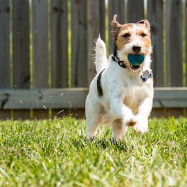 Get That Ball by Shawn Klawitter - Animals - Dogs Running ( fetch, ball, dog, running, scooter )