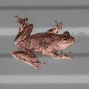 Roth's Tree Frog