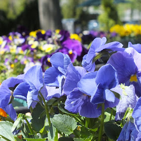 PANSIES by ChrisTina Shaskus - Flowers Flower Gardens (  )