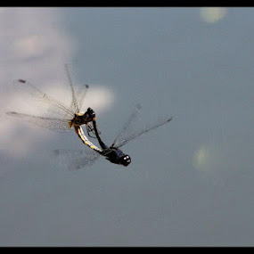 In Flight by Swapnil Khare - Animals Insects & Spiders ( #dragonfly,  )