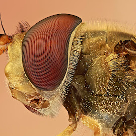 Hoverfly by Sergio Frada - Animals Insects & Spiders