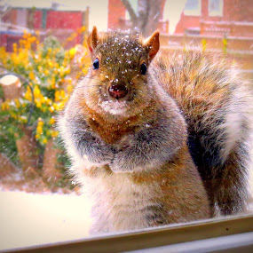 Squirrel by Patti Hobbs - Animals Other Mammals ( squirrel snowball solace fight mouth,  )