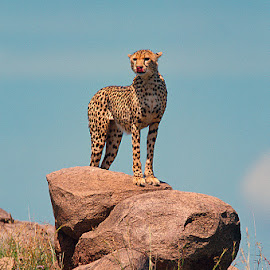 Cheetah Survey by David Northcott - Animals Lions, Tigers & Big Cats ( africa. cheetah. observing. acinonyx jubatus . watching )