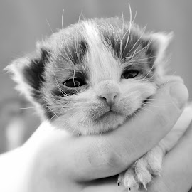 So small by Nikki Wagner - Animals - Cats Kittens ( tiny, kitten, black and white, so cute, wiskers )