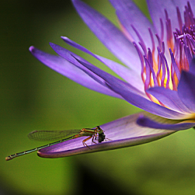 A dragon on a blue lily by Arvind Akki - Flowers Single Flower ( blue lily, flower,  )