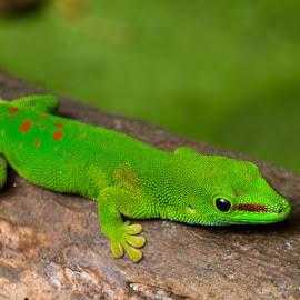 Phelsuma madagascariensis by Pietro Ebner - Animals Reptiles ( reptiles, lizard, green, phelsuma, madagascariensis,  )