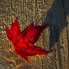 Maple Leaf by Kristen McFeeters - Nature Up Close Leaves & Grasses ( sand, red, canada, beach, maple leaf, boardwalk )
