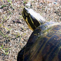 Florida yellow belly turtle