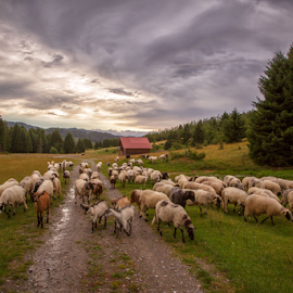 A flock of sheep heading to coral by Stanislav Horacek - Landscapes Prairies, Meadows & Fields