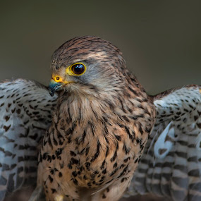 Common Kestrel (Falco tinnunculus)  by Ian Flear - Animals Birds (  )
