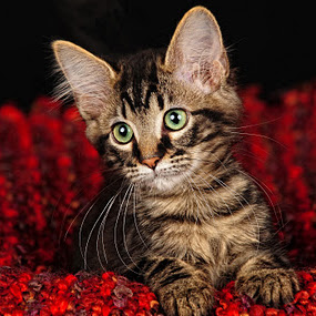 Those Loving Eyes by Connie Fore - Animals - Cats Portraits ( kitten, cat )