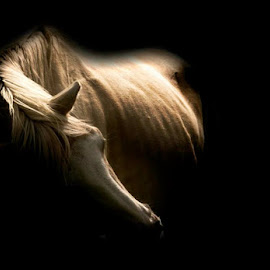 Majestic by Chene Emmerick - Animals Horses ( horse )
