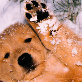 by Carla Chidiac - Animals - Dogs Puppies ( playing, isolated, snow, puppy, dog, cute, close up, golden puppy, golden retriever )