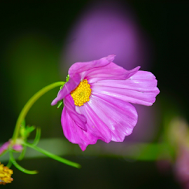 Cosmo by Tracey Doak - Novices Only Flowers & Plants ( cosmo, pink, flowers, pretty, flower, fall, color, colorful, nature )