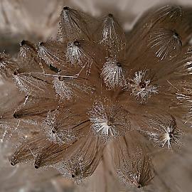 Silence In The Heart by Marija Jilek - Nature Up Close Other plants ( bur, heart, burdock, nature, silence, seeds )
