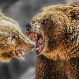 Fighting bears by Jorge Igual - Animals Other Mammals ( bear, fight, fierce, eye, animal,  )