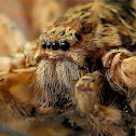 Brown Huntsman Spider