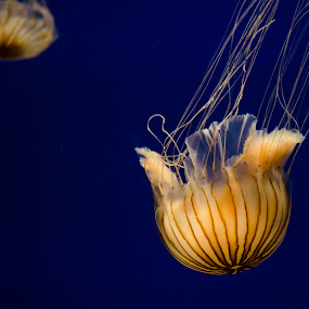 Jellyfish by Jennifer Tsang - Animals Sea Creatures ( jellyfish, animal, blue, orange. color )