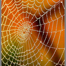 Webster by Tony Walker - Nature Up Close Webs ( water, new forest, web, spider, droplets )