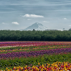 tulips with a mountian view by Kelvin Watkins - Flowers Flower Gardens ( bueatiful, color, trees, mountian, tulips, spring )
