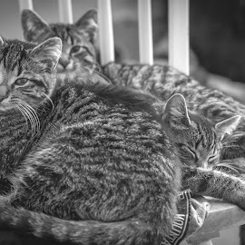 please don't disturb, we are sleeping by Pragadeeswaran Periasamy - Animals - Cats Kittens ( cats, monchrome, black and white, pets, kittens )