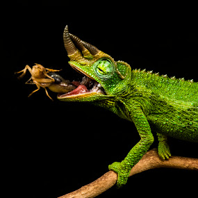 by Lisa Coletto - Animals Reptiles ( reptiles, lizard, animals, chameleon,  )