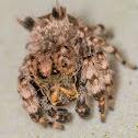 Beata Jumping Spider