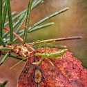 Assassin Bug (nymph)