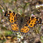 European map butterfly (spring brood)