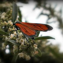 Moths from Salta province (Argentina). Polillas de la Provincia de Salta.
