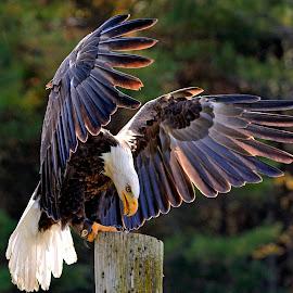 Bald Eagle Landing by Peter K. Burian - Animals Birds ( bird, flight, bird of prey, eagle, wings, bald eagle, raptor, national bird )