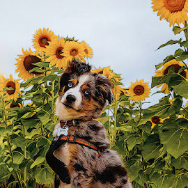 Do these flowers make me look bigger? by Steve Arthur - Animals - Dogs Puppies ( sunflowers, blue merle aussie, mini aussie, australian shepherd )