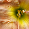 jackie kennedy daylily.jpg
