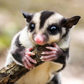 ... by Sugeng Sutanto - Animals Other Mammals ( sugarglider )