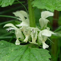White Deadnettle