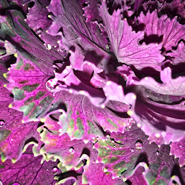 Ornamental Cabbage by Sharon Kennedy - Nature Up Close Other plants ( macro, nature, purple and green, ornamental cabbage, photography )