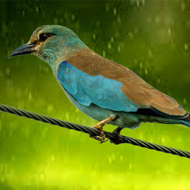 Eurasian Roller enjoying the rain in the field..!! by Mukesh Chand Garg - Animals Birds