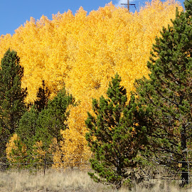 Wall of Gold by Donald Henninger - Novices Only Landscapes ( natural light, fall colors, colorado, forest, golden )