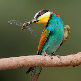 Rainbow by Stefano Ronchi - Animals Birds