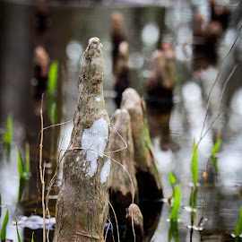 Cypress Knees by Chris Campbell Stacy Campbell - Nature Up Close Trees & Bushes