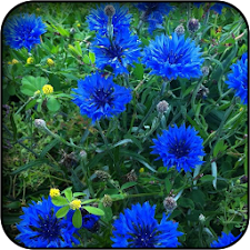 Cornflower wallpapers