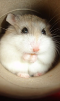 Screenshot of Crazy Hamster Pet
