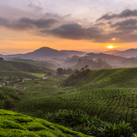 Morning at the tea farm by Gary Yip - Landscapes Prairies, Meadows & Fields ( farm, hill, dawn, mountain, morning )