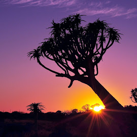 Quiver Tree Sunrise by Efraim van der Walt - Landscapes Sunsets & Sunrises ( quiver tree, silhouettes, sunrise, namibia )
