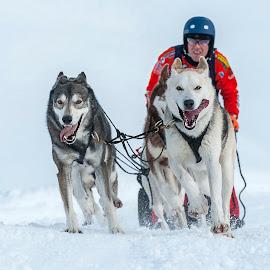 Toward victory by Massimo Mazzasogni - Sports & Fitness Snow Sports ( sleddog, racing, snow, massimo mazzasogni, dog, race )
